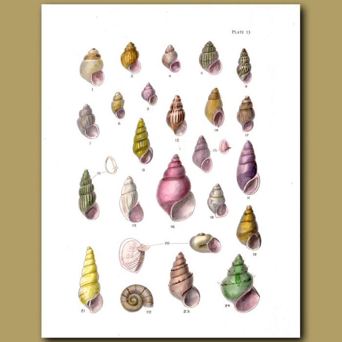 Antique print. Tiny Sea Shells