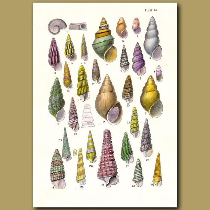 Antique print. Fresh Water Snails, Horn Sea Snails, Minute Sea Snails