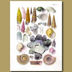 Carrier Shell, Deep Water Sea Snails