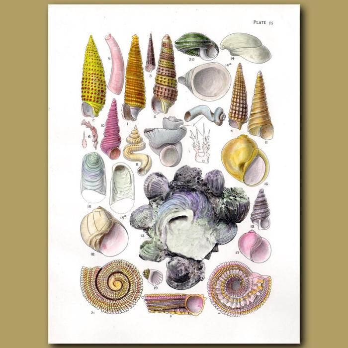 Antique print. Carrier Shell, Deep Water Sea Snails