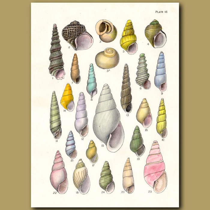 Antique print. Pyram Shells