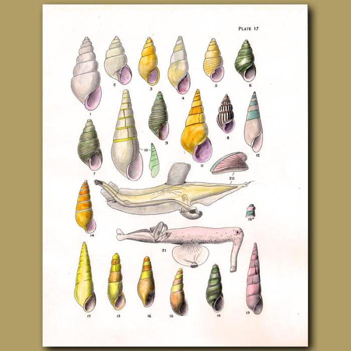 Antique print. Minute Pyramid Shells