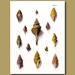 Australian Trumpet Shell, Plaited Mitre Shells, Speckled Whelk