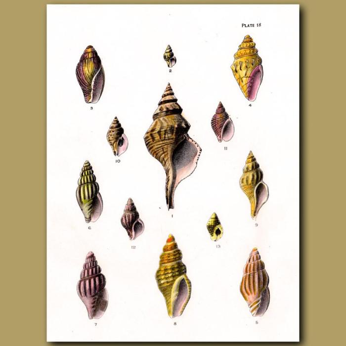 Antique print. Australian Trumpet Shell, Plaited Mitre Shells, Speckled Whelk