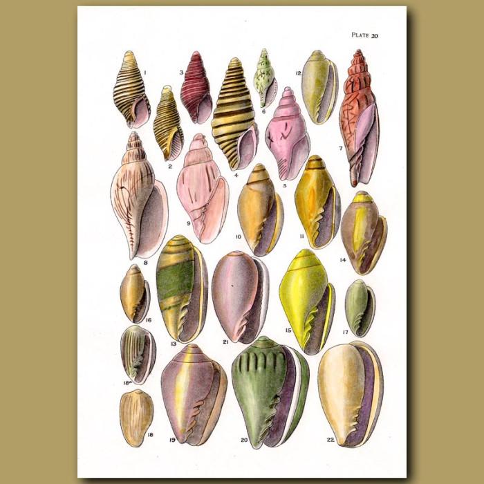 Antique print. Cone Shells and Margin Shells