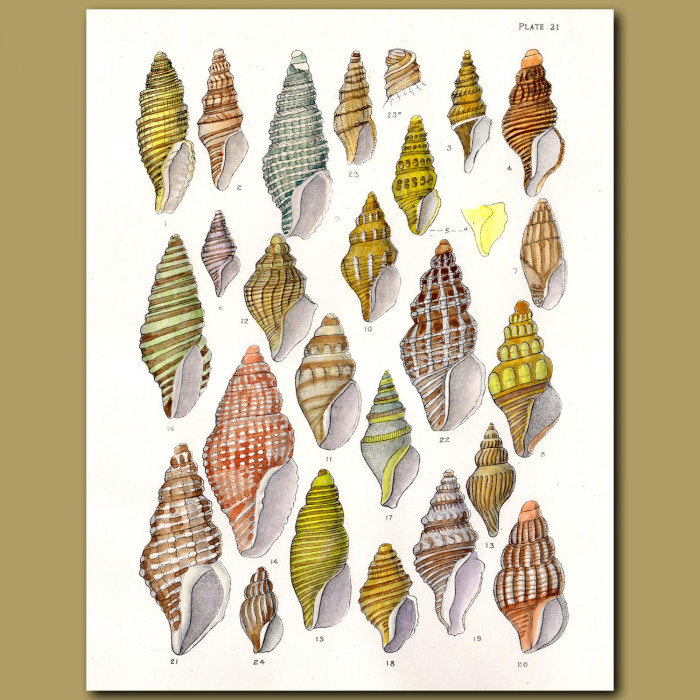 Spiral Shells: Genuine antique print for sale.