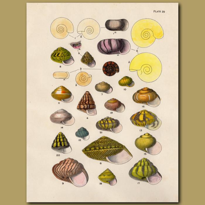 Tiny Sea Shells: Genuine antique print for sale.