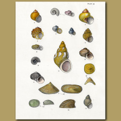 Pheasant Shells, Deep Sea Limpet, Sea Snail