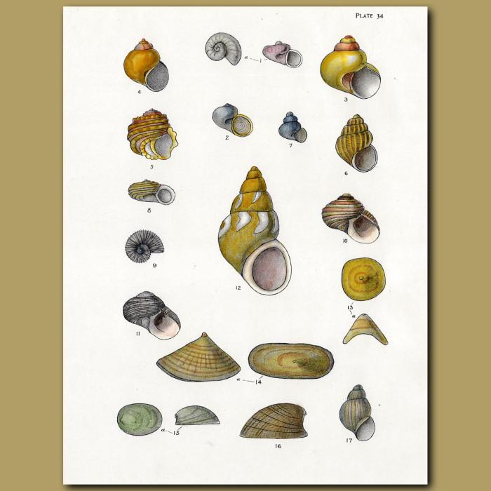 Pheasant Shells, Deep Sea Limpet, Sea Snail: Genuine antique print for sale.