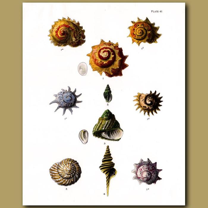 Antique print. Sunburst Star Turban Shells