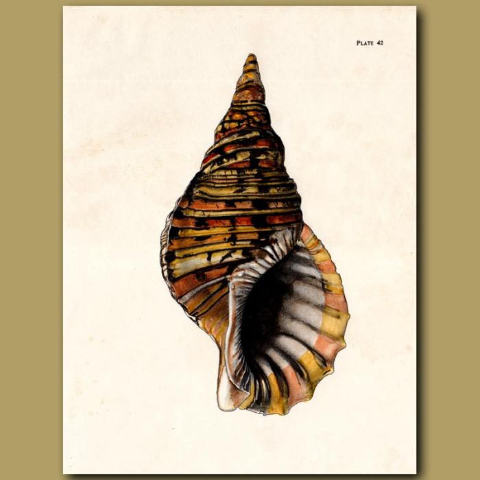 Antique print. Pacific Triton Shell