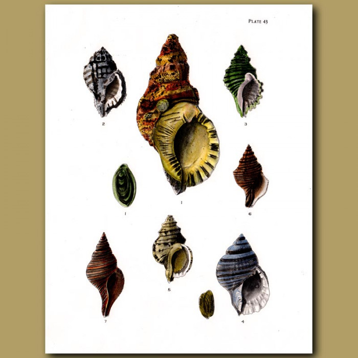 Antique print. Striped Triton Shells