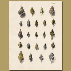 Drillia and Murex Shells