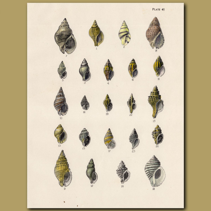 Drillia and Murex Shells: Genuine antique print for sale.