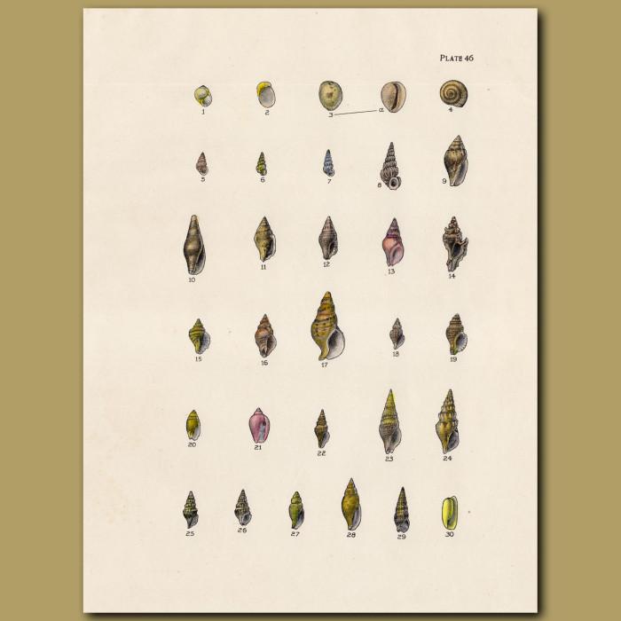 Wentletrap, Drillia shells: Genuine antique print for sale.