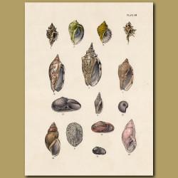 Murex Shells