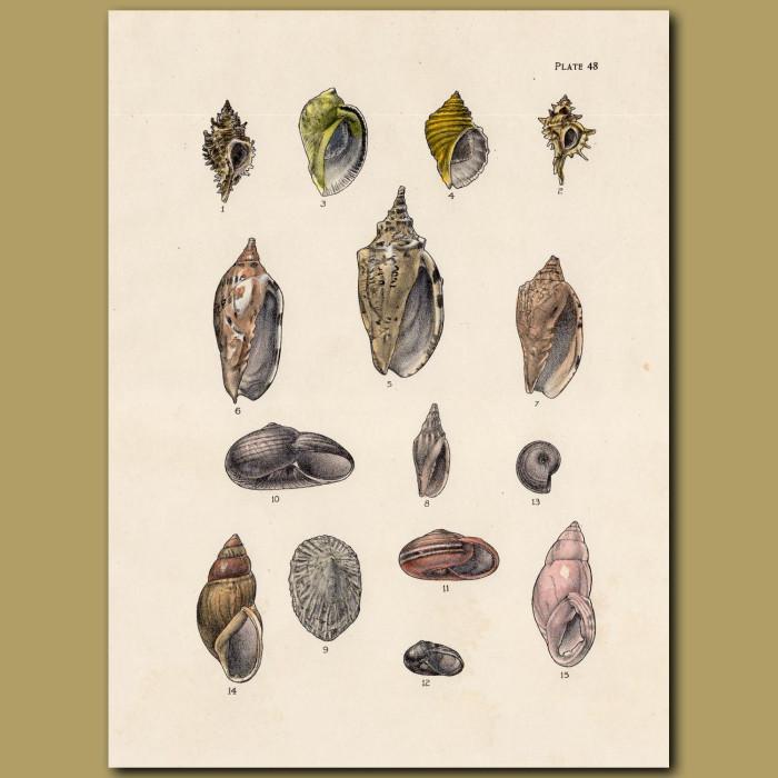 Murex Shells: Genuine antique print for sale.