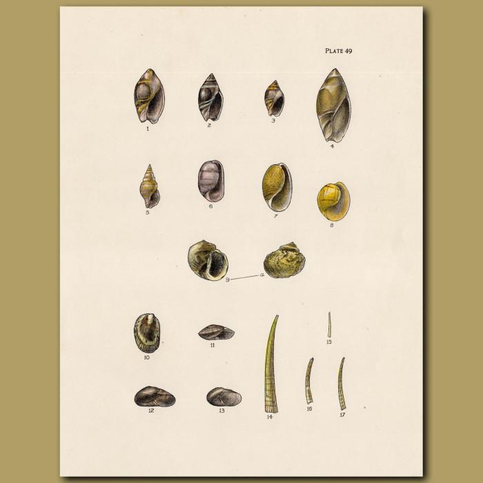 Bubble Snail Shell: Genuine antique print for sale.