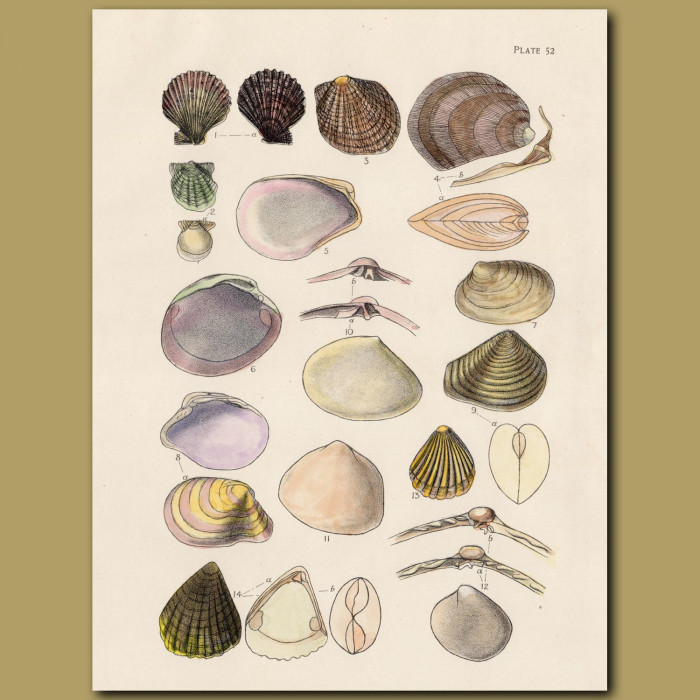 Scallops and Clams: Genuine antique print for sale.