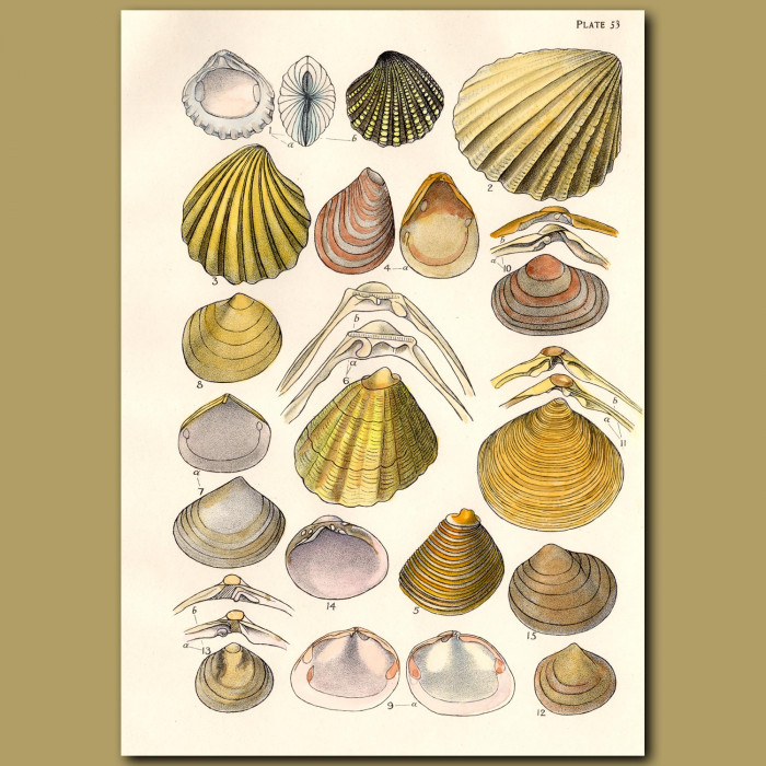 Mollusc and Clam Shells: Genuine antique print for sale.