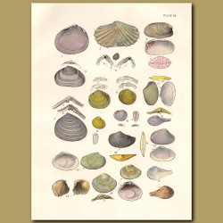 Mollusc and Cockle Shells