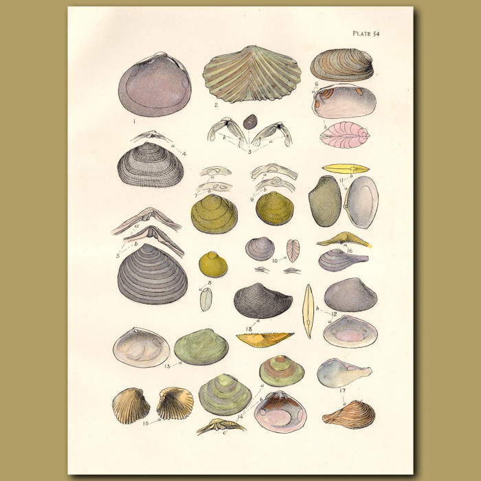 Mollusc and Cockle Shells: Genuine antique print for sale.