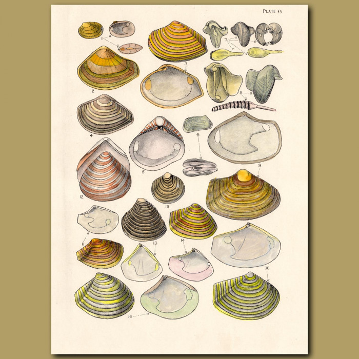 Mollusc, Clam and Limpet Shells: Genuine antique print for sale.