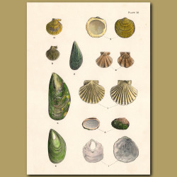 Green-lipped Mussel and Scallop Shells