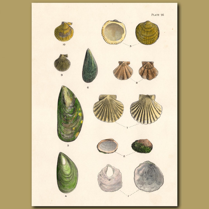 Green-lipped Mussel and Scallop Shells: Genuine antique print for sale.