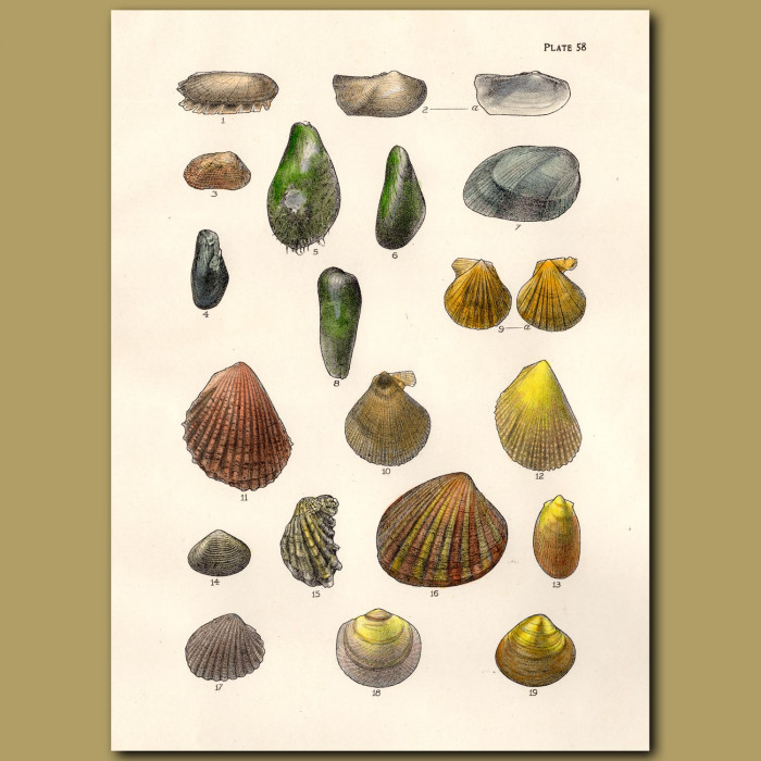 Bearded Horse Mussel, Scallop Shells: Genuine antique print for sale.