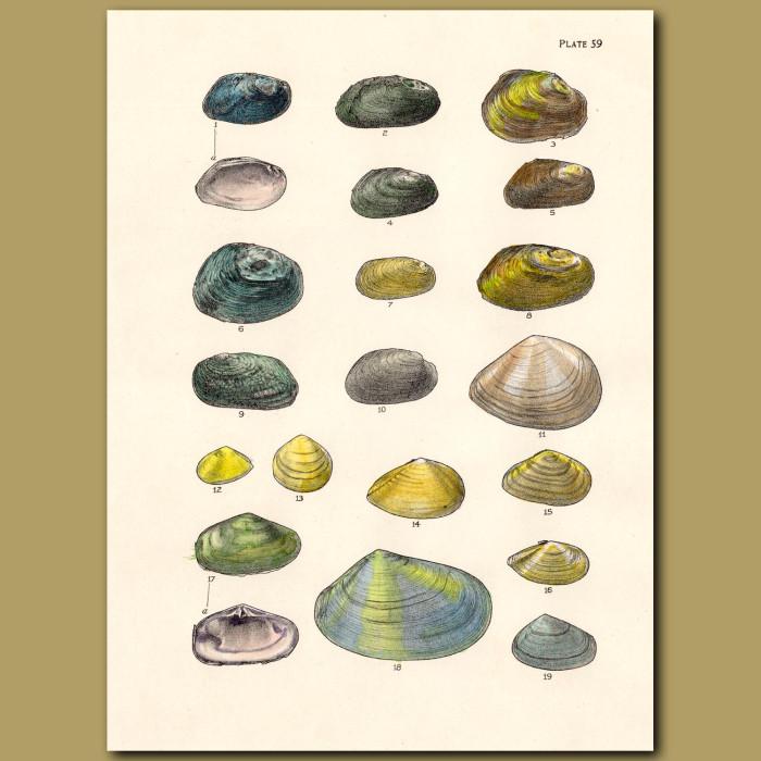 Mollusc and Scallop Shells: Genuine antique print for sale.