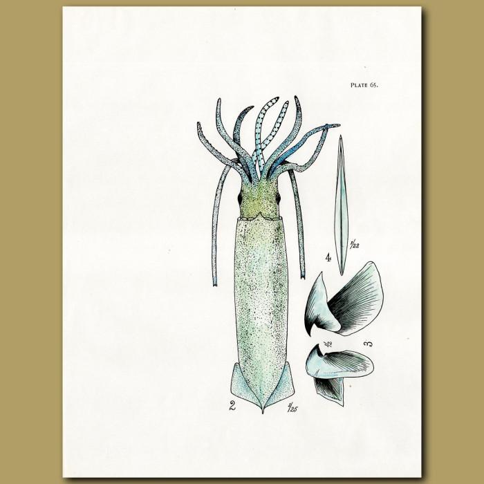 Giant Squid: Genuine antique print for sale.