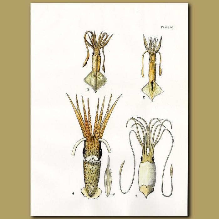 Giant Squid, European Flying Squid, Jewel Squid: Genuine antique print for sale.