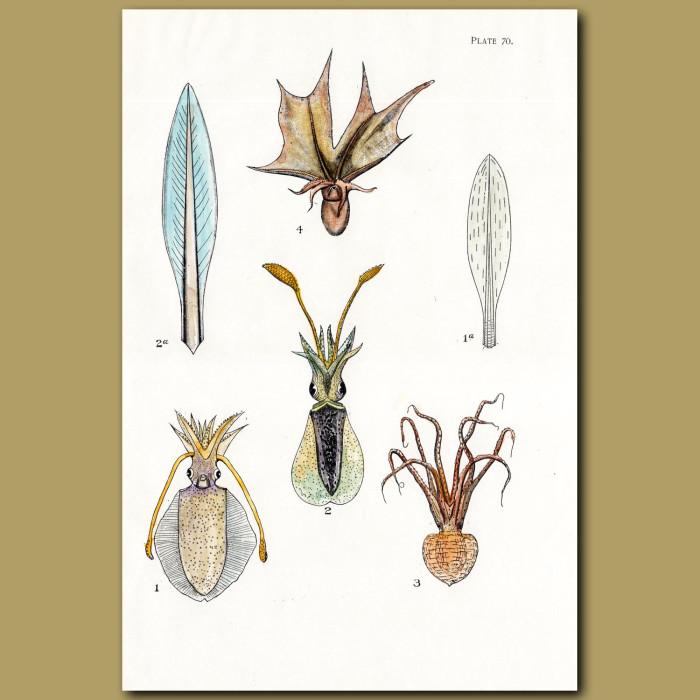Reef Squid,Octopus: Genuine antique print for sale.