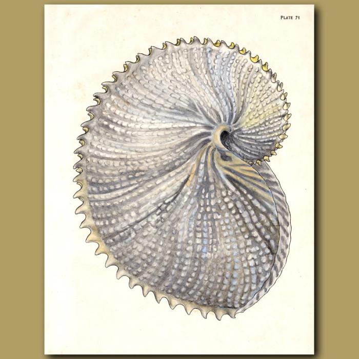 Antique print. Paper Nautilus Shell
