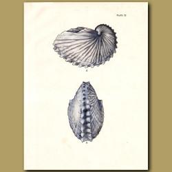 Paper Nautilus Shell (Greater Argonaut)