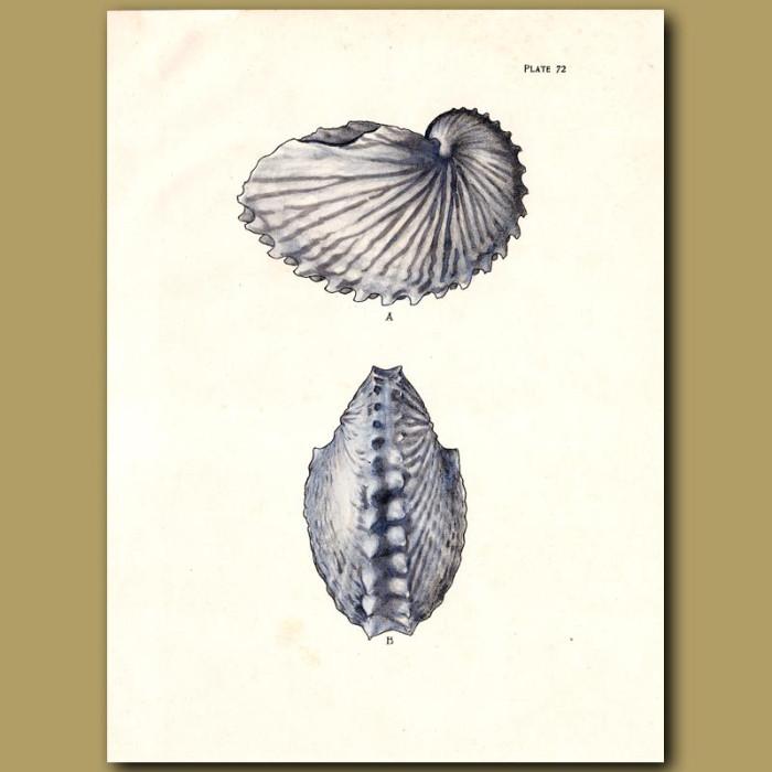 Antique print. Paper Nautilus Shell (Greater Argonaut)