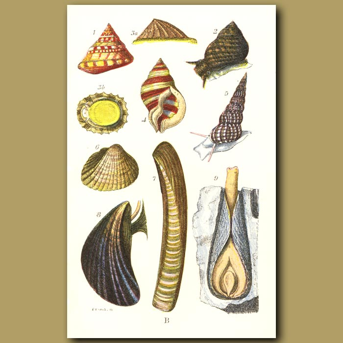 Antique print. Sea Shells: Livid Top, Yellow Periwinkle,Wentletrap, Cockle, Razorshell, Mussel
