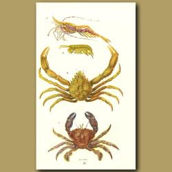 Spider Crab, Sand Skipper, Prawn, Velvet Swimming Crab