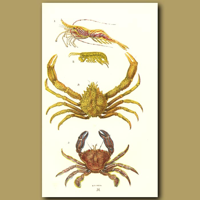 Antique print. Spider Crab, Sand Skipper, Prawn, Velvet Swimming Crab