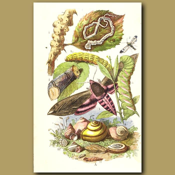 Antique print. Privet Moth And Caterpillars