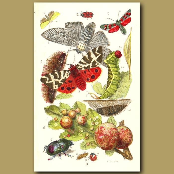 Antique print. Green Oak Moth, Burnet Moth, Puss Moth, Tiger Moth, Ladybird Beetle