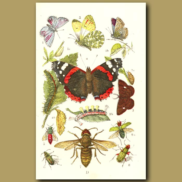 Antique print. Blue Butterfly, Red Admiral, Firetail And Sun Beetle