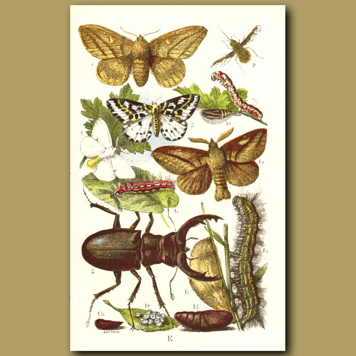 Antique print. Drinker Moth, Gold-Tailed Moth And Stag Beetle