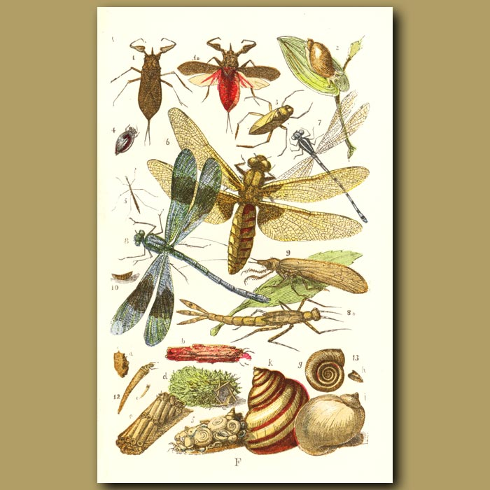 Antique print. Water Scorpion, Water Boatman, Dragonfly