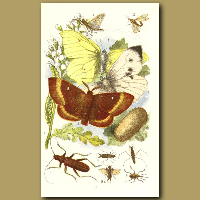 Antique print. May-Fly, Brimstone Butterfly,Musk Beetle, Nut Weevil