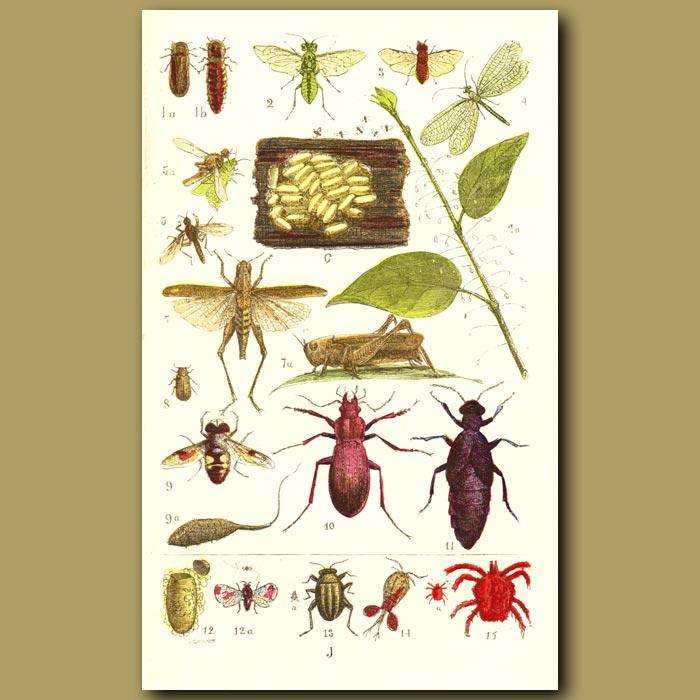 Antique print. Glow-Worm, Lacewing Fly, Grasshopper,Scarlet Spider