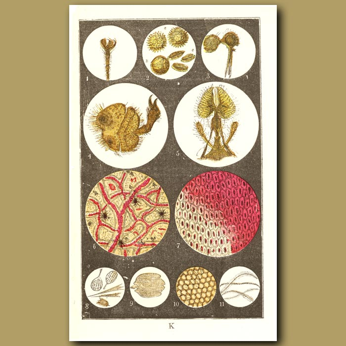 Antique print. Microscopic Views Of Plants And Beetles