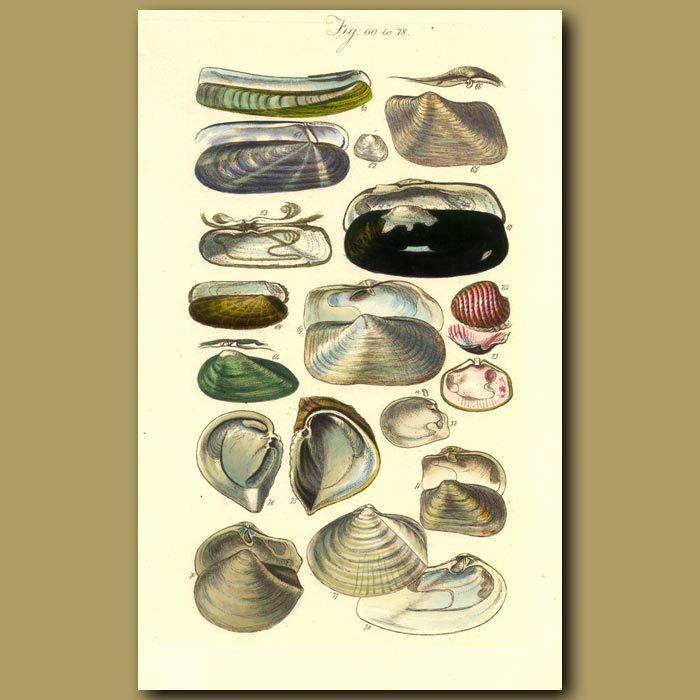 Antique print. Razor And Jack Knife Clams