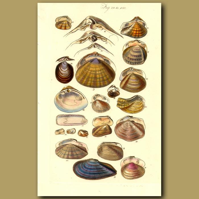 Antique print. Clam Shells
